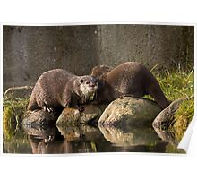 Asian short clawed otters Poster