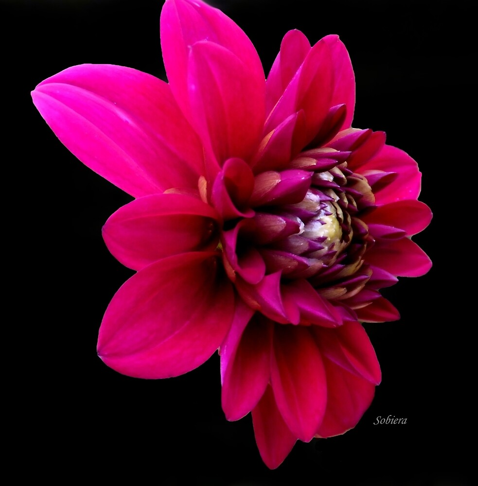 My Dahling Dahlia! by Rosemary Sobiera