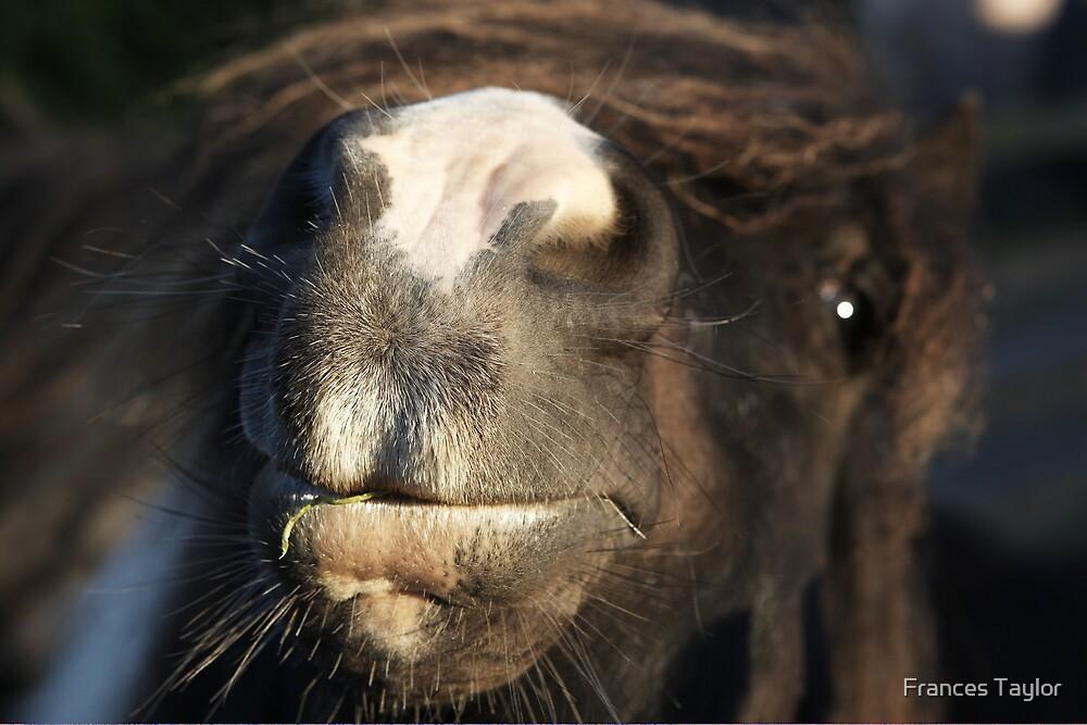 Shetland pony nose by Frances Taylor