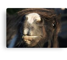 Shetland pony nose Canvas Print