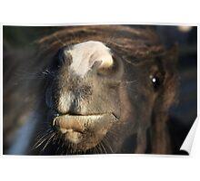 Shetland pony nose Poster