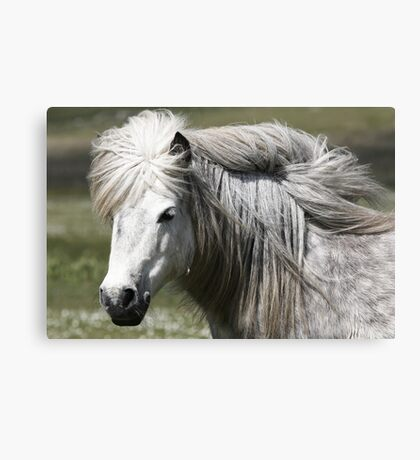 Shetland Pony Mare  Canvas Print