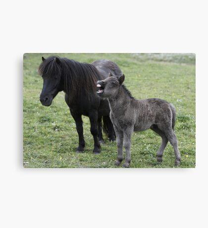 Shetland pony Foal and mare Canvas Print