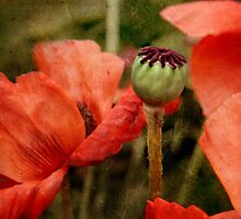 ... and red grow the poppies ... by Dominic Moriarty