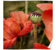 ... and red grow the poppies ... Poster
