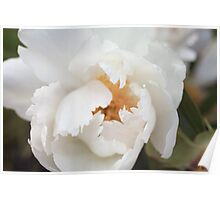 Opening Up- White Peony Fine Art Print Poster