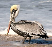 Old Pelican  by DDeacon