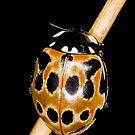Eyed ladybird by Gabor Pozsgai