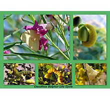 Cloudless Sulphur Life Cycle  Photographic Print
