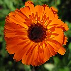 Calendula Flower by GnomePrints