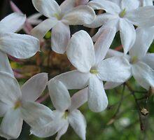Pink Jasmine Flowers by GnomePrints