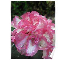 Pink & White Azalia Blooms Poster