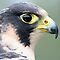 The Falconidae Family
