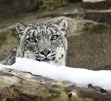 Snow Leopard by Jeff Palm Photography