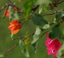 "Bougainvillea Pink and Orange Flower Bush ""PaperFlora"" by iseezu"