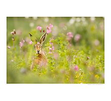 Hare in Red Campion Photographic Print