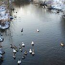 Ducks and snow in my backyard by Arie Koene