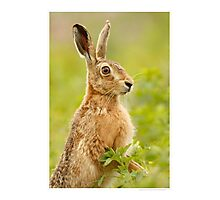 Brown Hare Photographic Print