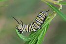 Monarch Caterpillar by Gabrielle  Lees