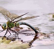 BLUE EMPEROR - Anax imperator by Magriet Meintjes