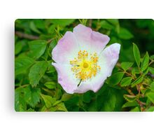 Dog Rose Flower Early Summer Canvas Print