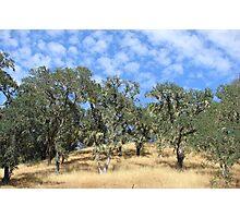 California Live Oak, Napa Valley Photographic Print