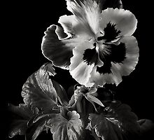 Pansy in Black and White by Endre