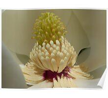 Magnolia Grandiflora. Poster