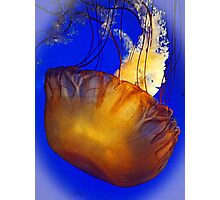 Pacific Sea Nettle Photographic Print