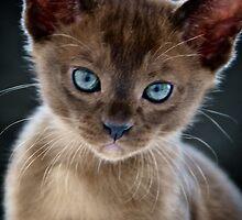Opal-eyed Kitten by Renee Hubbard Fine Art Photography