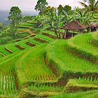 Green rice terraces by Adri  Padmos