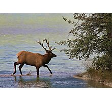 Magnificent Stag in Jasper National Park Photographic Print