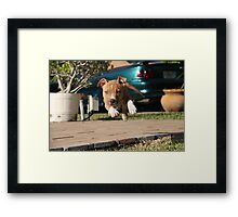 Flying American Pit Bull Terrier Framed Print