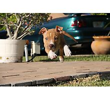 Flying American Pit Bull Terrier Photographic Print