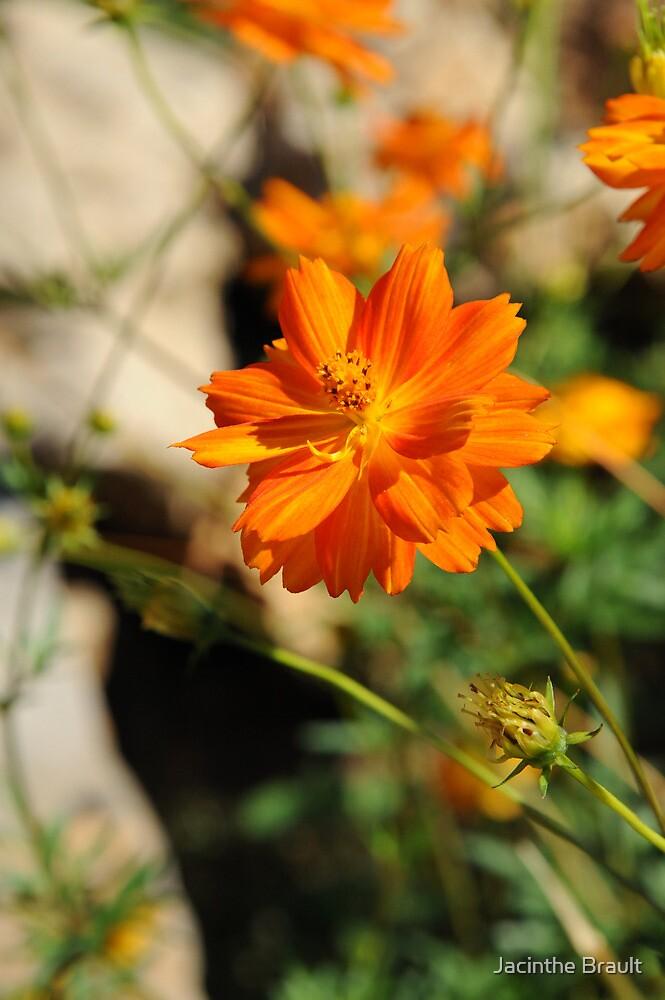 Orange Glow by Jacinthe Brault