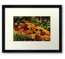The Richness of Autumn - an Exuberant Display of Chrysanthemums  Framed Print