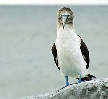 blue footed booby by inourgardentoo