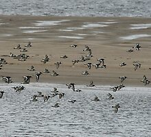 Flock of oystercatchers by Paul Holland