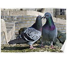 Cooing Pigeons Poster