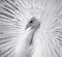 White Peacock  by snehit