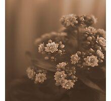 Sepia Blossom Photographic Print