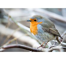 European Robin Photographic Print