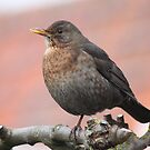 Common Blackbird by DutchLumix