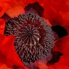 Poppy by Tracy Riddell