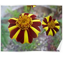 Red & Yellow Marigold Flowers Poster