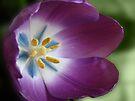 Purple Tulip by Sandy Keeton
