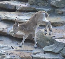 Baby Mountain Goat by Matt Erickson
