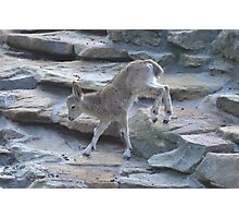 Baby Mountain Goat Photographic Print