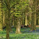 Bluebell wood by Sophie Watson