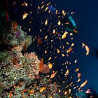 Ananthius on the Reef by jackmbernstein